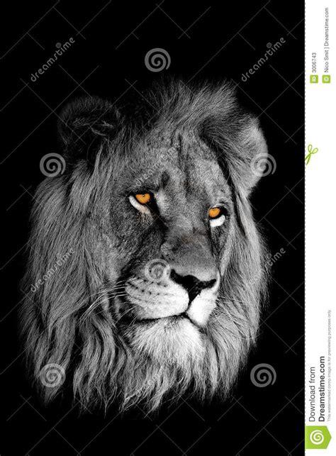 imagenes de leones a blanco y negro retrato africano del le 243 n