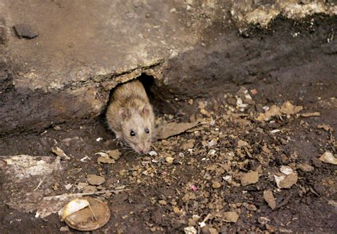 The Rats in battle of nyc vs rats the rats appear to be winning