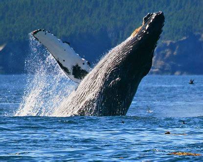 alaska whale watching whales in alaska
