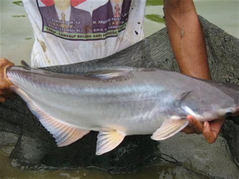 Alat Pancing Ikan Air Tawar trik memancing the knownledge