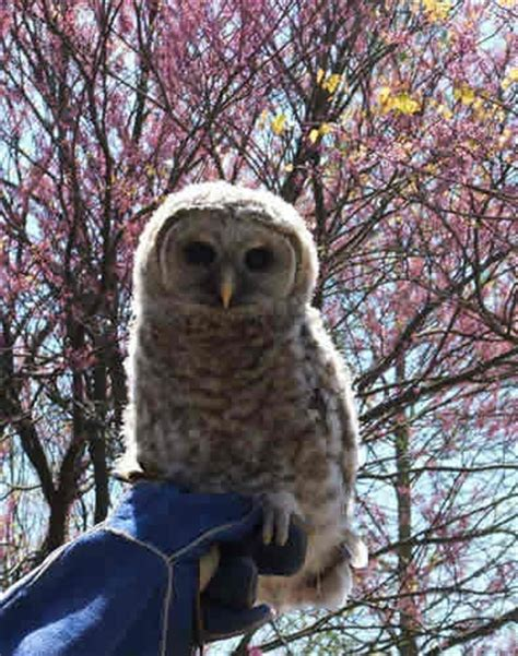 Search In Tennessee Owls In Tennessee Search Pets Birds
