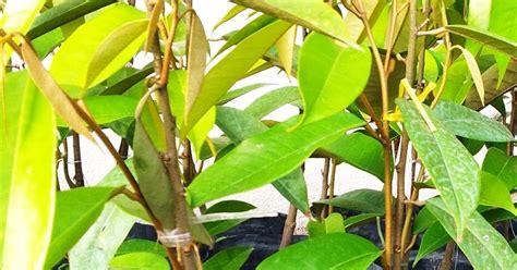 tatipro nursery plants durian batang mas berbuah rendah