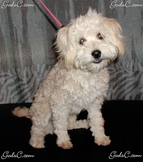 yorkie maltese poodle mix teacup poodle mix breeds picture