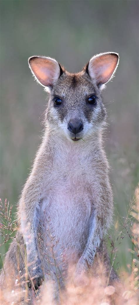 picture   cute wallaby  wild animals