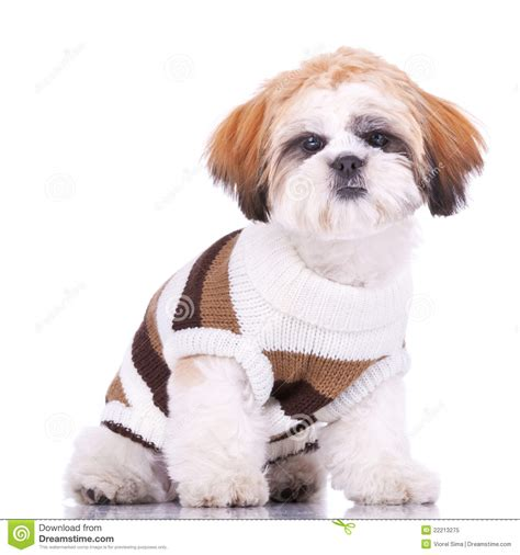 shih tzu puppy clothes curious shih tzu puppy wearing clothes royalty free stock photo image 22213275
