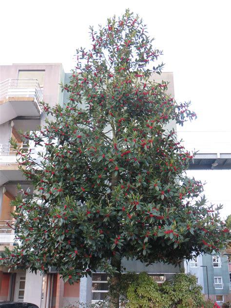 image de no235l 2018 arbre en pot pour terrasse 15 le houx larbre de no235l p233pini232res de port de carhaix