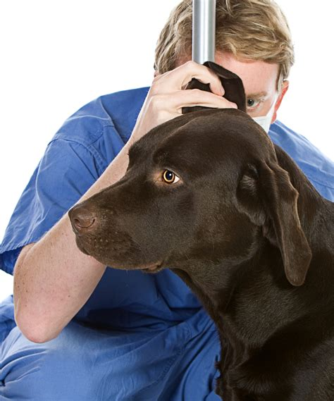Why Do Dogs Scratch At The Floor by Ear Problems In Labradors The Labrador Site