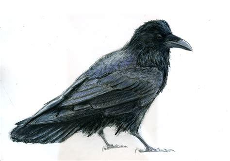ravens colors common color neornithes