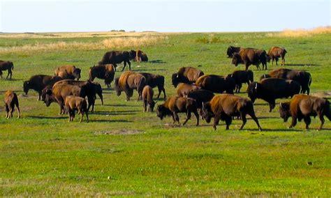 amerikanischer herd buffalo herd gallivance