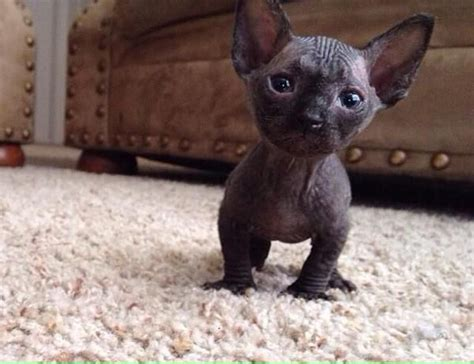 hairless munchkin cat   Google Search   animals