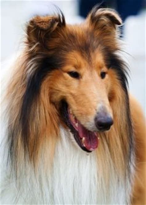 lassie breed breed guide collie beautiful pets and i am