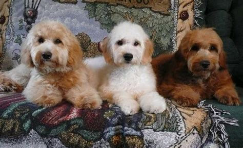 mini doodles ontario goldendoodle puppy breeders ontario mini doodle puppies