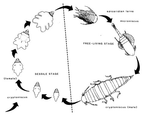 pillbug diagram science jargon band name of the day parasitic castration