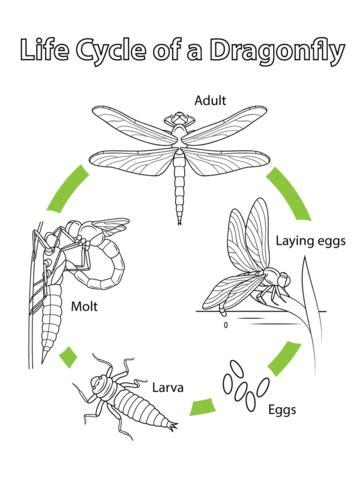 coloriage cycle de vie de la libellule coloriages 224