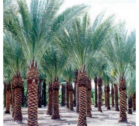 buy date palm seeds kg   cheap price indias