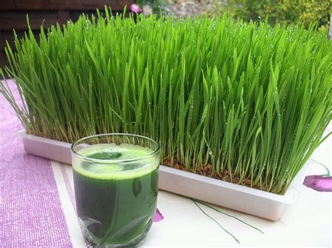 Wellness Wheat Grass wheatgrass the scoop