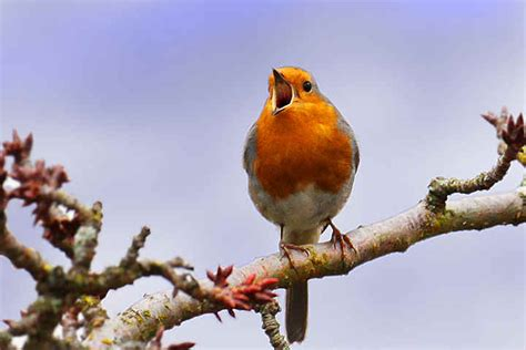 back to life of the robin next