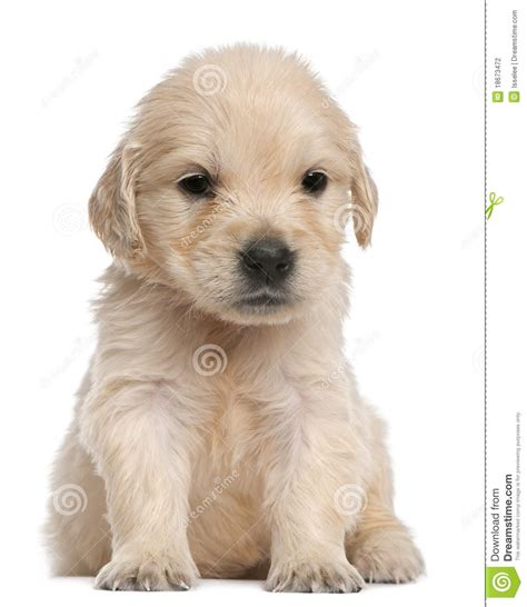 4 week golden retriever golden retriever puppy 4 weeks sitting stock photography image 18673472