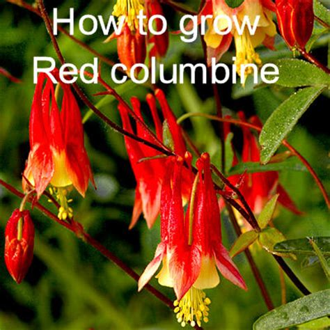 eastern red columbine wild perennial   easy