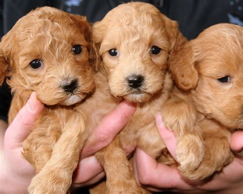 puppies milwaukee uber will deliver puppies to your door friday tmj4 milwaukee wi