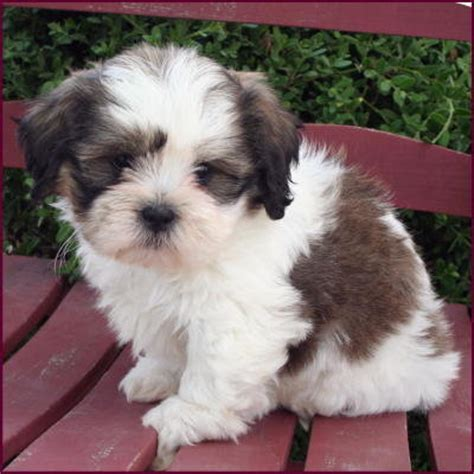 shih tzu price in malaysia shih tzu bichon frise puppies sold 2 years 10 months zuchon new breed in