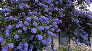 Green Foliage Plants For Full Sun - ceanothus impressus italian skies
