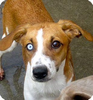 australian shepherd beagle mix www pixshark com images