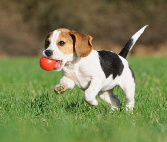 what to expect with a puppy your puppy what to expect at 8 to 12 weeks
