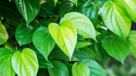 membuat obat kuat oles  daun sirih manfaat