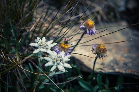 edelweiss fiore alpino fiore alpino dell edelweiss immagine stock immagine di