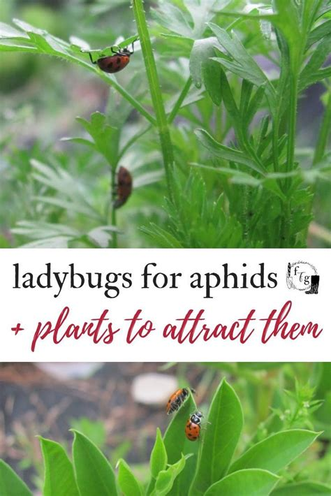 ladybugs  aphids plants  attract ladybugs