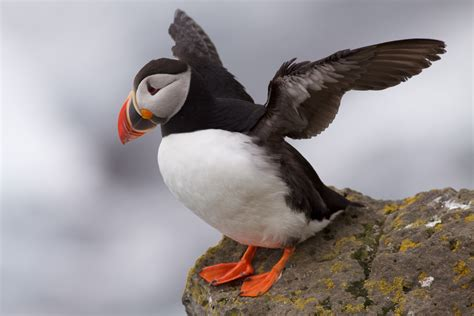 file puffin latrabjarg iceland jpg wikimedia commons