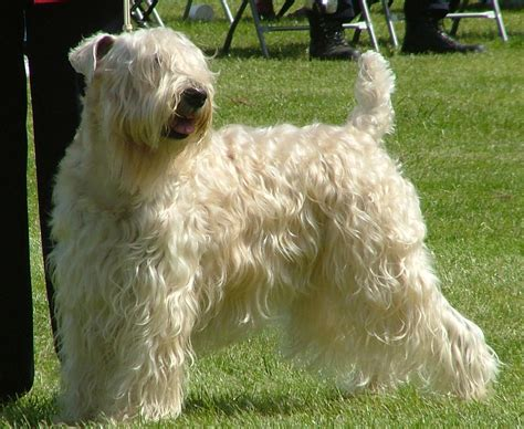 soft coat wheaten terrier puppies soft coated wheaten terriers hobel wheatens