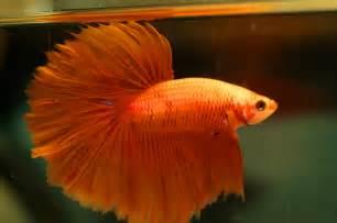 is an orange delta tail betta. On the right is an orange plakat betta