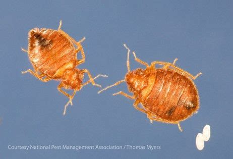 male and female bed bugs pin by national pest management association on bed bug awareness week
