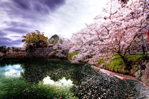 imagenes cerezo japones cerezo en flor sakura caifaness