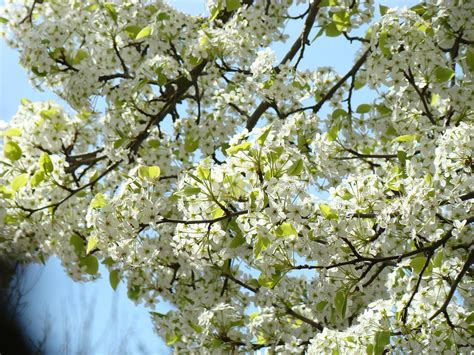 white tree blossoms blue sky art prints photograph by