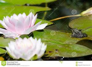 Lotus And Frog Frog On A Lotus Flower Stock Images Image 31980064