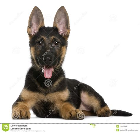 3 month german shepherd puppy german shepherd puppy 3 months lying royalty free stock photo image 14847645