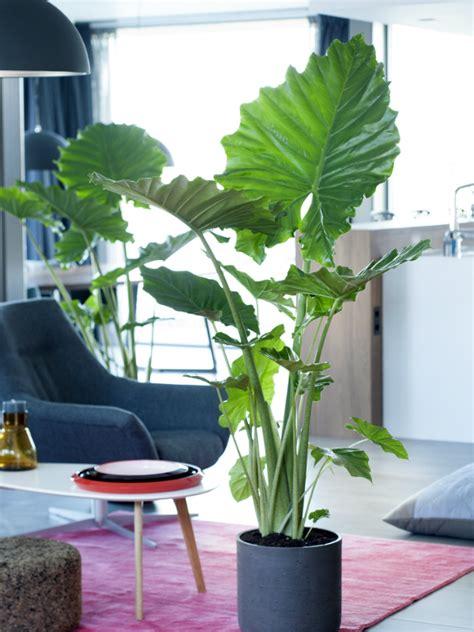 alocasia mooi wat planten doen