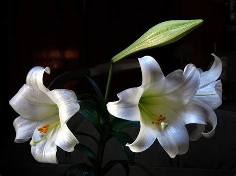 easter lily care tips diy network blog made remade diy