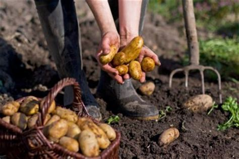 wann sind kartoffeln gar kartoffeln f 252 r hunde 187 giftig oder gesund