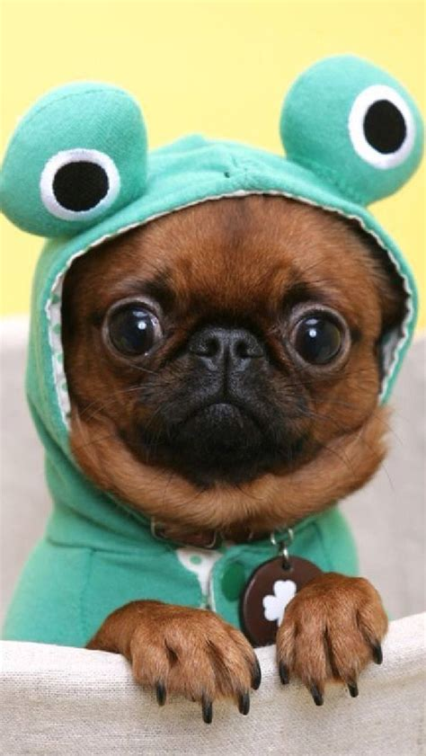 pug in costume pugs puppies in costumes www pixshark images