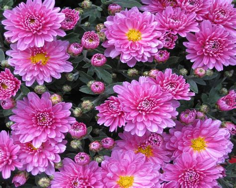 aster flowers wallpapers my note book pink flower aster chrysanthemum flower in the garden hd