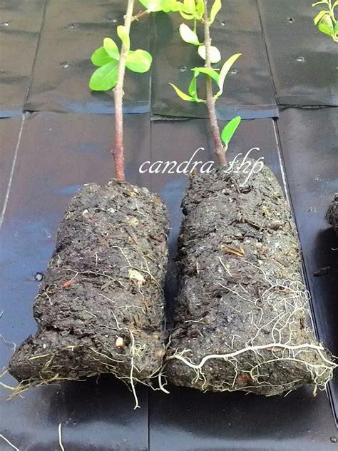 Penumbuh Akar Root Up bontangkreatif cara stek pohon cherry barbados