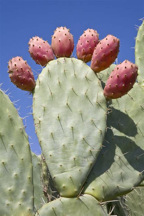 image prickly pear cactus fruit download prickly pear fruit harvest information on picking
