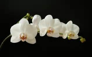 Orchids Orchids Wallpaper 45358