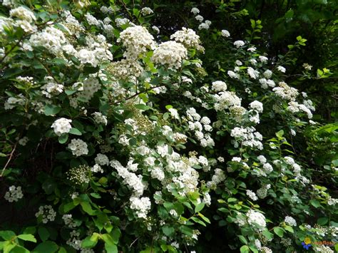 Arbuste A Fleurs by Photo Arbuste En Fleurs
