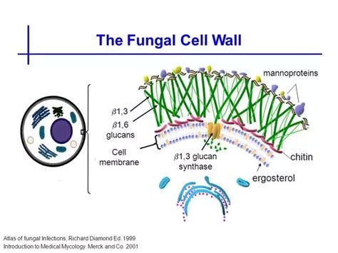 chief material  cell walls  composed