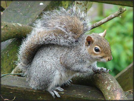 grey squirrel fact file